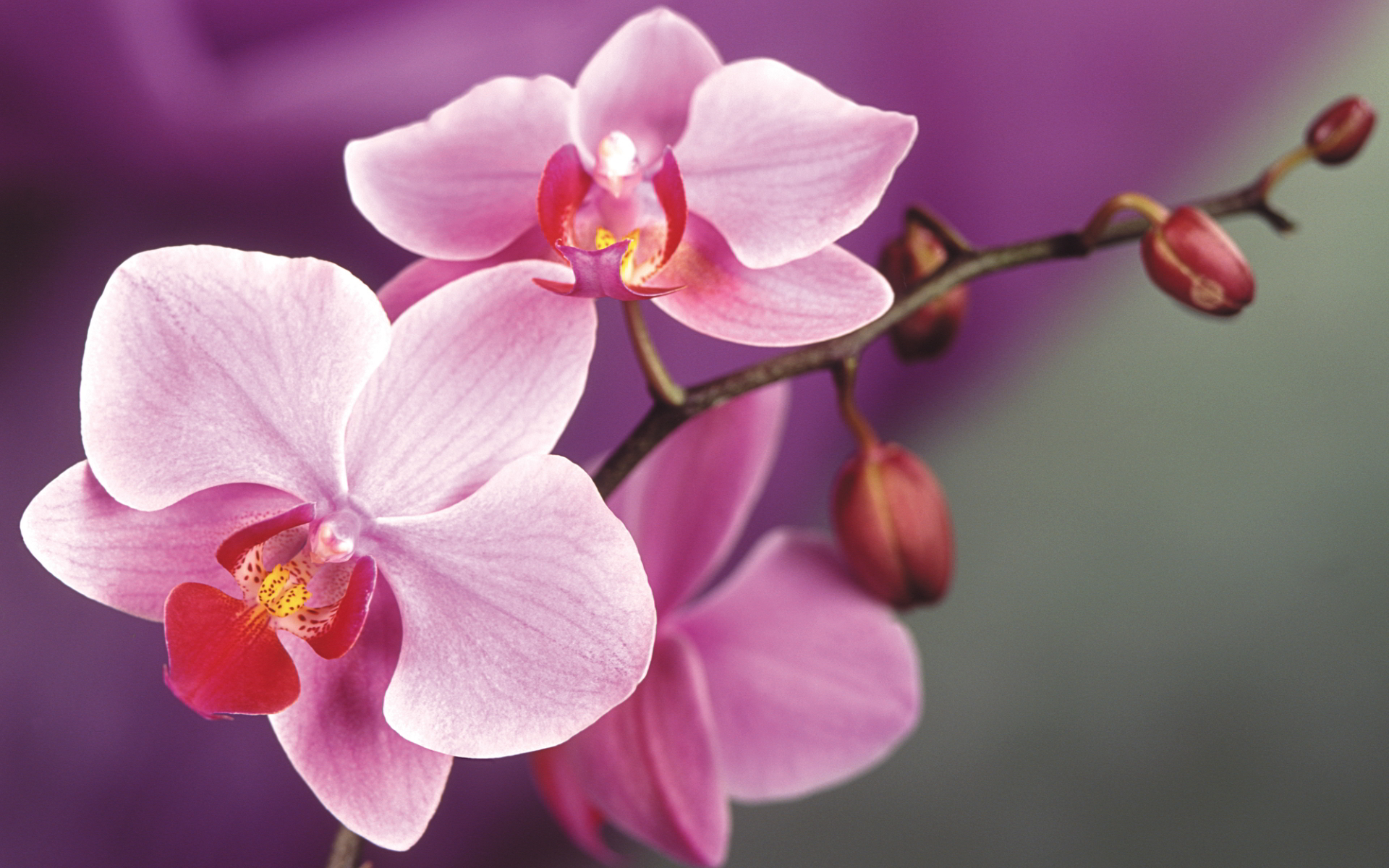 6997267-pink-orchids-macro
